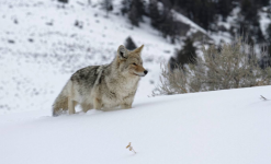 Yellowstone, loups et bisons en hiver